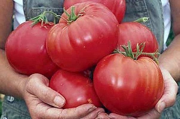 Чтобы помидоры были крупными!