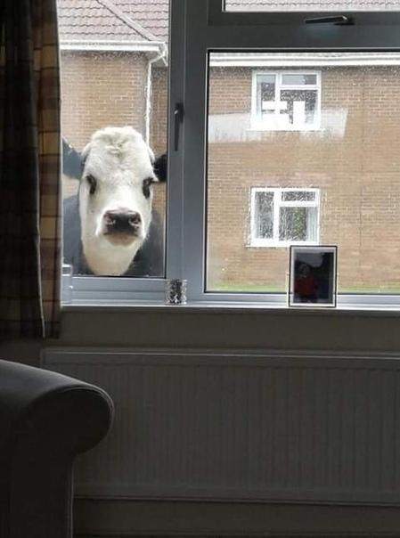 Психотерапевт: корова не будет тебя преследовать и осуждающе смотреть в окно за то, что ты пьёшь молоко, это всё глупая паранойя