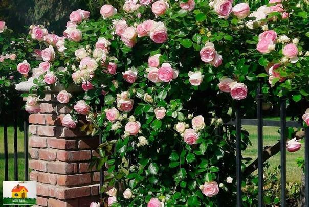 Плетистые розы  это частые гости на красиво оформленных приусадебных участках, в парковых зонах
