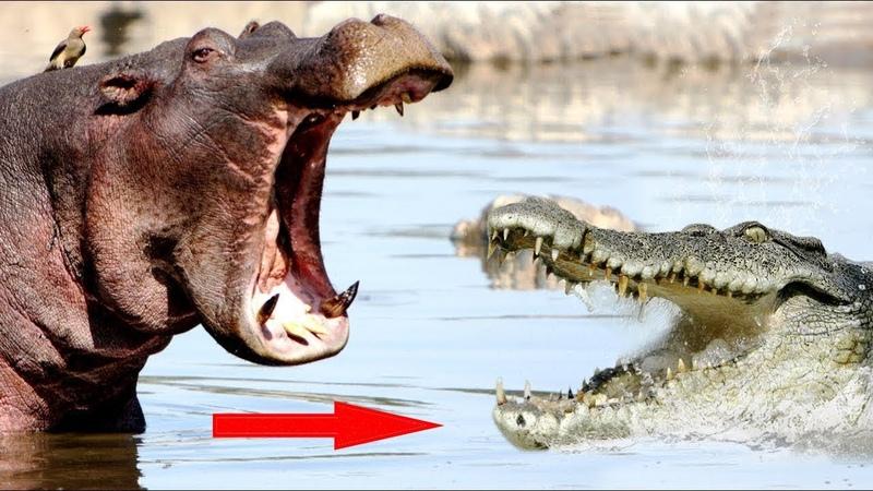 Версус. Бегемот в деле! Бегемот против льва крокодила буйвола и даже слона!