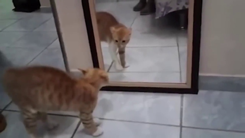 Кот обосрался от страха смотря в зеркало