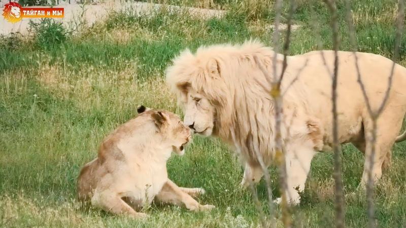 Как Мама Чоли Кая по кустам водила. Львы. Сезон 2020 Тайган. Life of lions. Taigan.