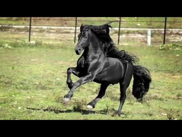 Самый красивый конь в мире по кличке Фредерик Великий