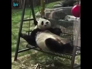 Забавные панды