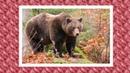 Почему медведи впадают в спячку и сосут лапу?