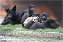 Собаки - умные и добрые животные, но собрание их коллектива почему-то называется стаей.(