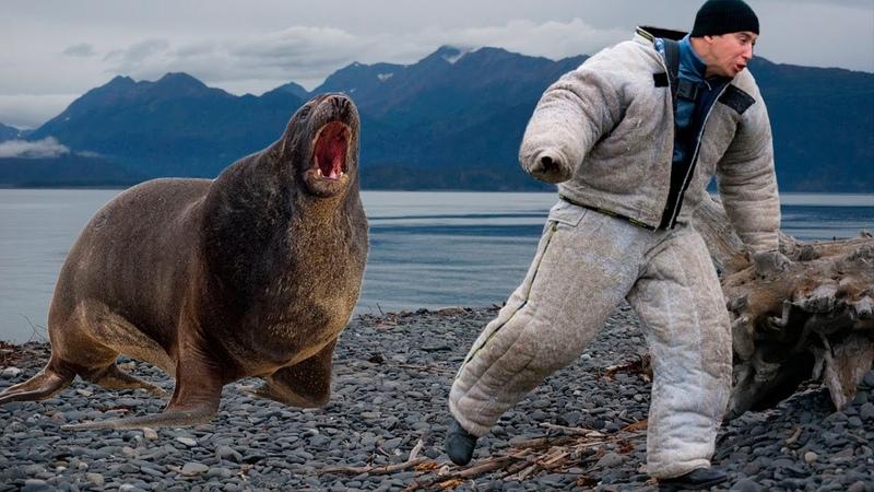 Хищник в деле Опасный морской лев Вы и не знали что тюлень может быть так опасен для человека