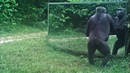 Unlike his family this young gorilla male takes his mirror training seriously in the Gabon jungle