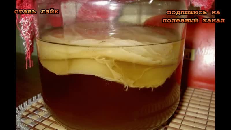 Как вырастить чайный гриб с нуля за полтора месяца