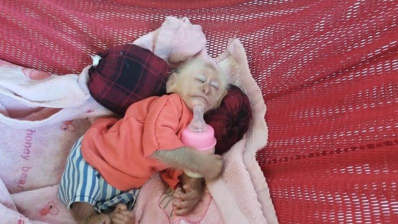 Baby Monkey Ape moment sleeping so cute