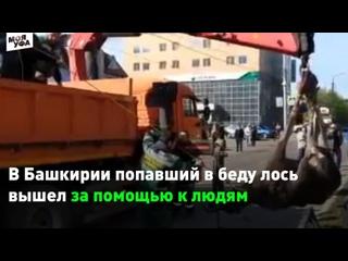 В Башкирии молодой лось выбежал на улицы Нефтекамс...