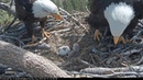 04-15-19 Big Bear Lake eagles; Shadow sees baby 2 for the first time.