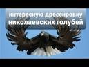 Дрессировка голубя Николаевских Черные смоляные белоносы интересную