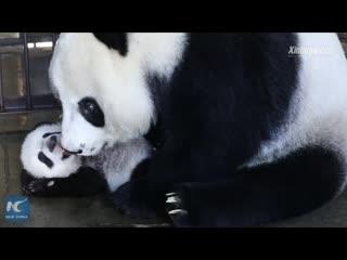 Мама-панда и ее детеныш радуются встрече