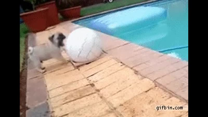 Pug puppy has a mishap while playing with ball