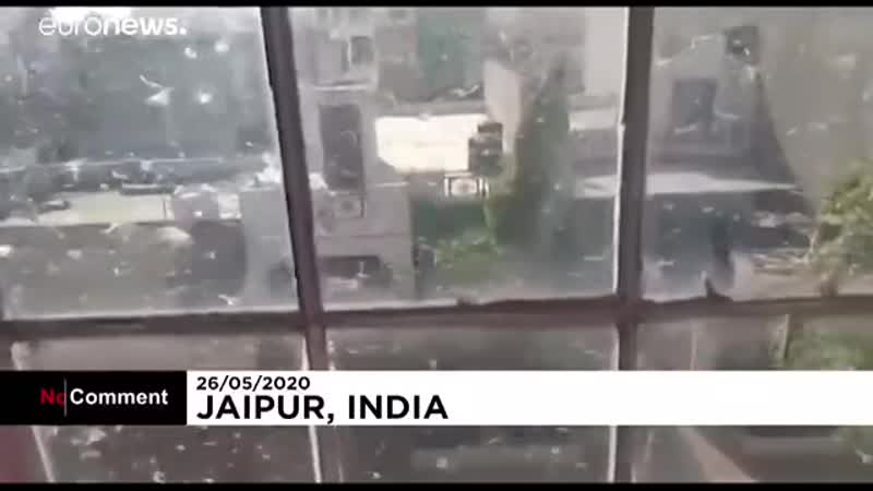 Пустынная саранча опустошает индийский штат Раджастхан