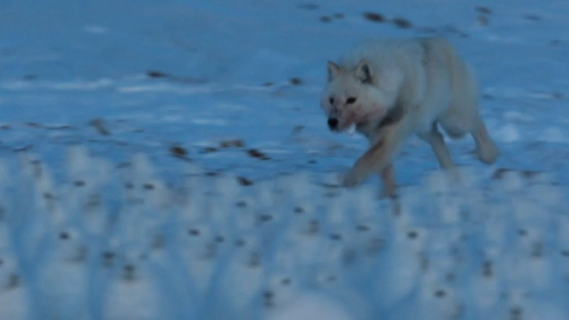 Arctic Wolf Hunts Drove of Arctic Hares A Perfect Planet BBC Earth